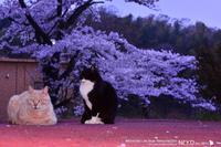 桜Ver.2017 桜猫 - WEEKEND Life Style shirocha0051