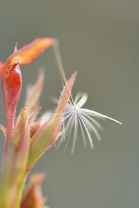 4/24 綿毛 - 「あなたに似た花。」