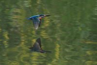 カワセミの飛翔 - 野鳥公園