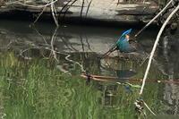カワセミの飛び込み - 野鳥公園