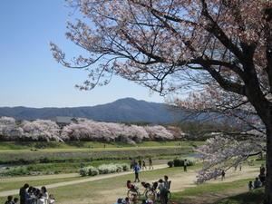 京都の桜                (是枝 益彦) - 江鷹会の応接室