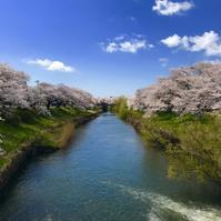 桜散歩 - sharpshooter