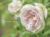"""桜彩の薔薇 - ATELIER 302 """" 時の色 """""""
