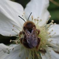 シロスジヒゲナガハナバチ ♀ Eucera spurcatipes - 写ればおっけー。コンデジで虫写真