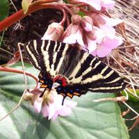 2017 ギフチョウ - 蝶と