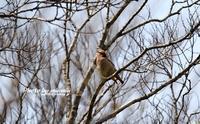 ヒレンジャク(緋連雀) - azure 自然散策 ~自然・季節・野鳥~