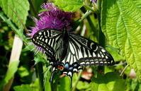 春本番 - 紀州里山の蝶たち