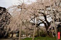 散りゆく京都の桜・・・ 2017(前編) - モンスケ'ず ふぉとぶろぐ