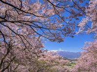170423高遠の桜(3) - 一人の読者との対話