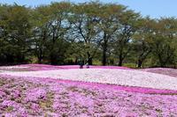 ネモフィラと、芝桜と、菜の花が同時に見頃を迎えた4,000種、100万株の花園(館林市、東武トレジャーガーデン) - 旅プラスの日記