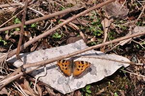 春のチョウ探し - 自由蝶