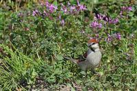 ニュウナイスズメ - 比企丘陵の自然