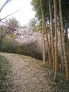 浄専寺のしだれ桜 - tekotanのあしあと
