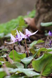 カタクリの花が咲いたら - A primrose by the river's brim
