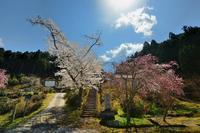 桜便り2017 京北町の桜巡り@福徳寺のかすみ桜 - デジタルな鍛冶屋の写真歩記