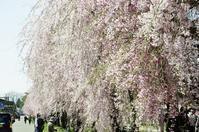 福島県喜多方市の枝垂れ桜 - 畦道、山道 デジタル散歩