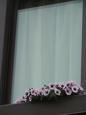 顔を見せたサフィニアとふんわり花壇♪ - ベルバーンに魅せられて