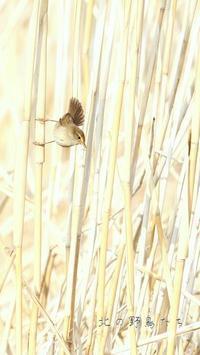 ムジセッカ - 北の野鳥たち