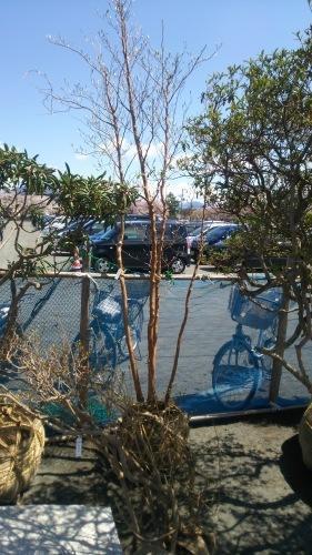 桜見頃ですね青森市合浦公園桜川大通り - 北国の建築徒然草-山本プランニング一級建築士事務所