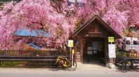 しだれ桜 - ロードバイクを楽しむおっさん日記