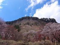 屏風岩公苑 今年の桜-12 - てんてまり@Up.town
