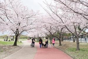 愛おしい桜の思い出♪ - Lovely Photo
