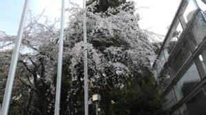 まさかの桜 - ただの只者日記