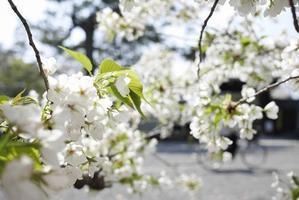 今年の桜フォト - on the table