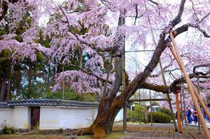 醍醐寺の桜 - graceland