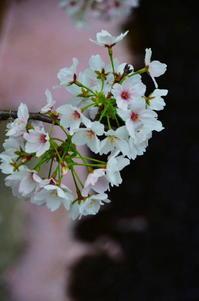 散り際の桜 - 風の香に誘われて 風景のふぉと缶