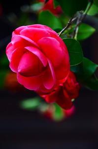 街の赤椿 - 風の香に誘われて 風景のふぉと缶