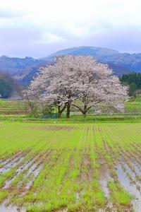2017 桜  存在 - 彩