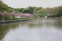 蓮華寺池公園の里桜が咲きました。 - 蓮華寺池の隣5