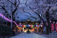 蓮馨寺 桜 - photograph3