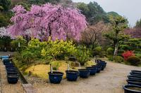 法金剛院の桜 - 鏡花水月