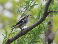 コムクドリ - 『彩の国ピンボケ野鳥写真館』