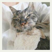 ご長寿猫 はんぞう との暮らし 「4月1日~4月5日の はんぞう」 - たびねこ
