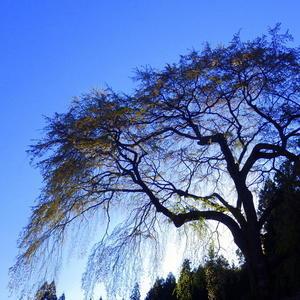 お花見釣行 - 永源寺のなまぐさイワナ
