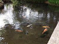カルガモと鯉、黒川清流公園 - 西多摩探鳥散歩