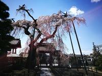 白河の桜1 @福島県白河市 - 963-7837