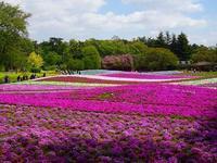 桜の次は芝桜のお花見に  - 操の気まぐれ日記