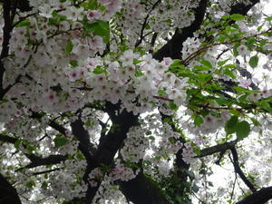2017桜🌸 - 幸せな日々 Jours  Heureux