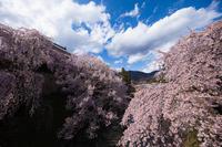 信濃路の桜 009 - 感動模写Ⅱ