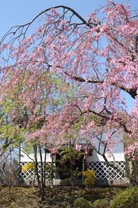 桜、もう少しでした~ - こつぶのとっておきの時間