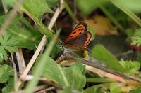 狙いのチョウは見られず・・・卵観察に終わる - 蝶超天国