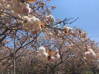 沼代の林さん農家へ 八重桜の花摘みへ!  - Coucou a table!      クク アターブル!