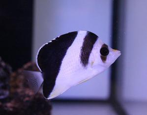 入荷 - ビーボックスアクアリウム 海水魚・サンゴ情報