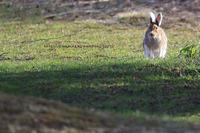 またまた エゾユキウサギ - イチガンの花道