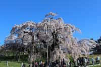 春爛漫①(滝桜) - 風の中で~