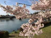 錦帯橋の桜 -  ~ Fairy ~  花塾てしま